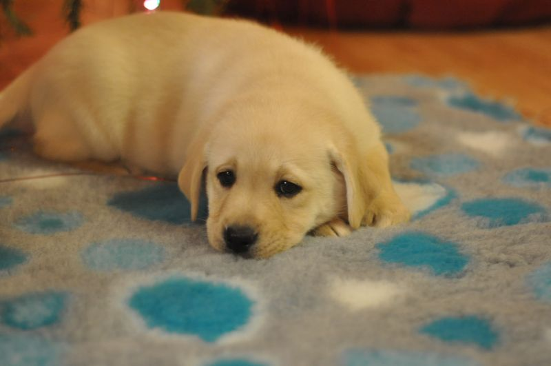 Labrador korzysta z dry bed